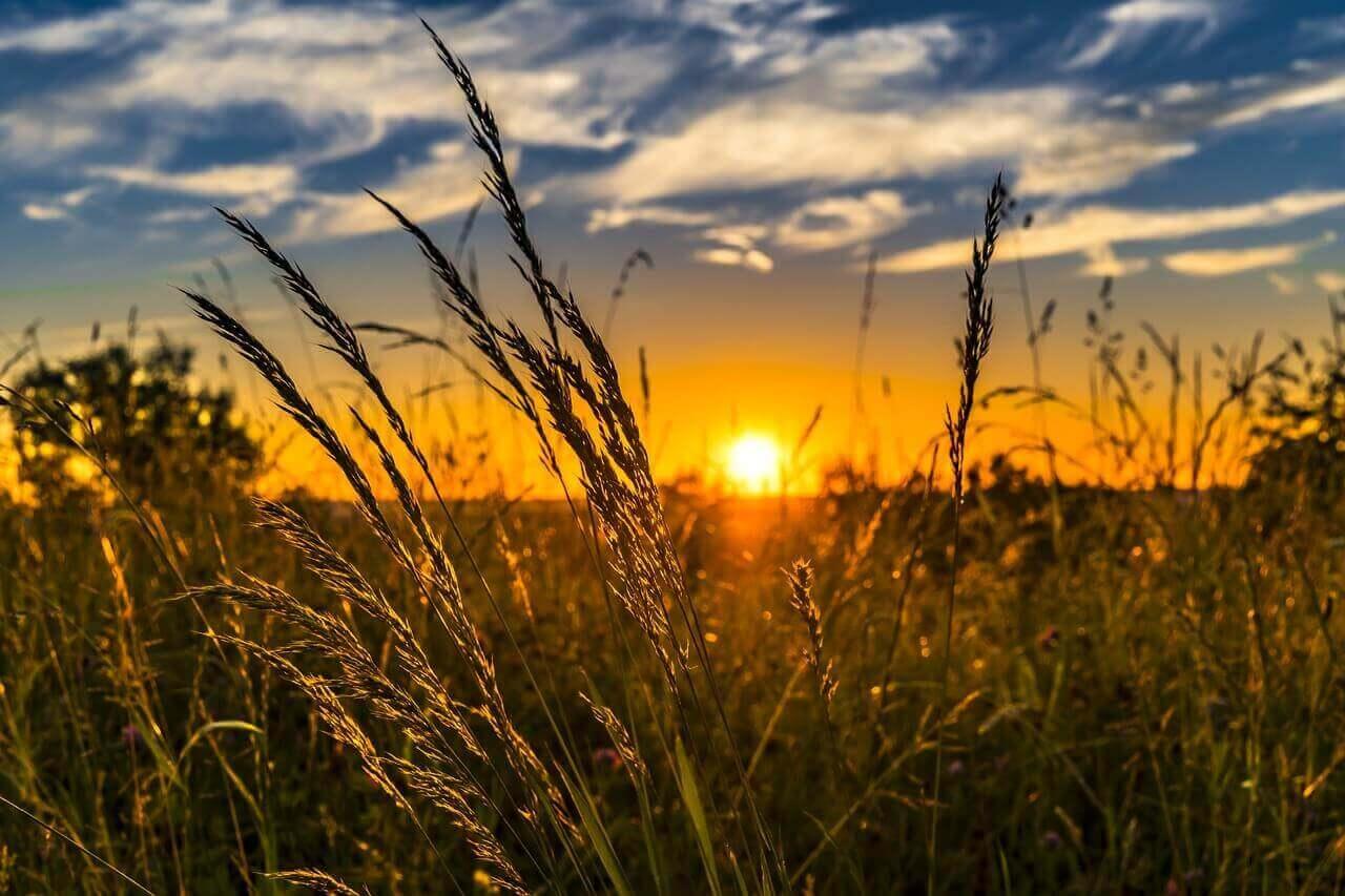 夏の夕日と稲穂